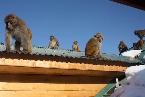 Snow Monkey spotting at Gulmarg Ski Resort, India. Matt Appleford